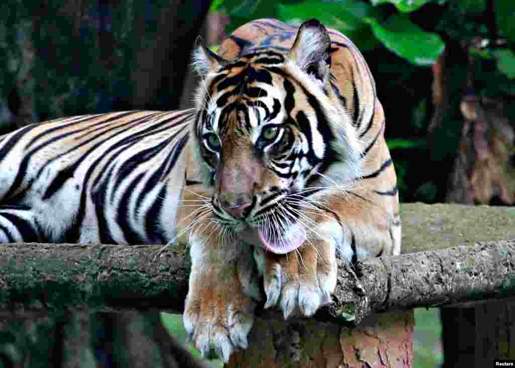 Tino, a 9-year-old tiger, recovers from COVID-19 after testing positive in mid-July, at Ragunan Zoo in Jakarta, Indonesia.