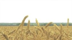 Китай: в Украину – за пшеницей