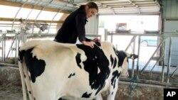 Fameri veruju da zadovoljne krave daju više mleka i primenjuju kreativne taktike uključujući i kiropraktičarske zahvate.