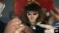 In this undated image taken from AP Television, scientists in Iran surround a monkey ahead of a space launch.