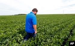Michael Petefish berjalan di sela tanaman kedelai di lahan pertaniannya dekat Claremont di selatan Minnesota.