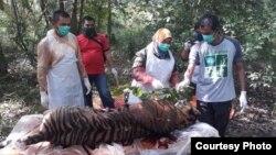 Seekor harimau Sumatra betina yang ditemukan mati di Aceh Selatan saat akan dilakukan nekropsi oleh Tim dokter hewan BKSDA Aceh (foto: courtesy).