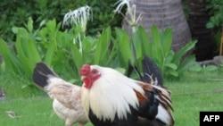 鸡能成为现代都市一员吗?