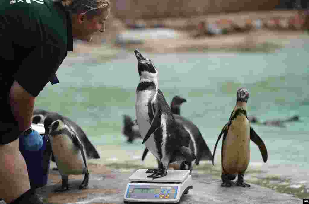 A penguin reacts with a zoo keeper as it stands on weighing scales for the Zoo's annual weigh-in, in London.