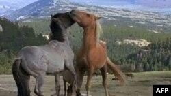 ABD'de Yaban Atları Programı Tartışılıyor
