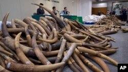 香港海關於從一個馬來西亞集裝箱查獲約7200公斤象牙。 (2017年7月6日)