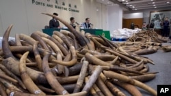 Ivory tusks are displayed after being confiscated by Hong Kong Customs in Hong Kong, July 6, 2017.