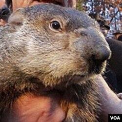 Punxsutawney Phil, groundhog atau hewan kecil sejenis berang-berang darat (2/2).