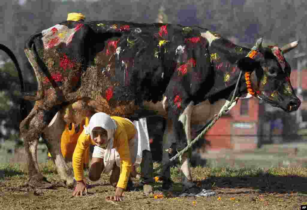 Seorang pendeta Hindu merangkak di bawah seekor sapi sebagai bagian dari ritual ibadah pada festival keagamaan Tihar di Kathmandu, Nepal.