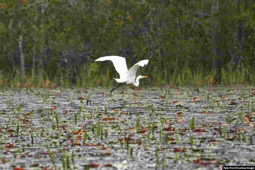 پرواز مرغ ماهیخوار بر فراز «مرغزار»، بزرگترین زیستگاه جانوران مرداب اوکیفینوکی