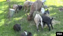 Hewan-hewan yang biasa dijadikan hewan kurban didatangkan ke Granada Islamic School di Santa Clara, CA (VOA/Vina).