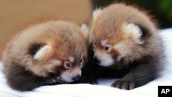 Dos osos panda machos nacieron el 21 de junio en el zoológico de Rosamond Gifford, en Syracuse, Nueva York.