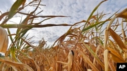 ARCHIVO- Un maizal totalmente seco en Ahlen, Alemania, debido a temperaturas extremas. 21-8-18. AP Foto/Martin Meissner.