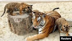 Hai con hổ Ðông Dương chơi đùa với mẹ tại vườn thú Hà Nội.