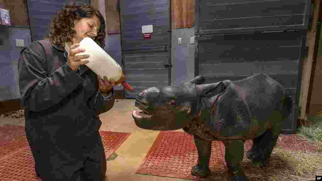 Sur cette photo fournie par le zoo de San Diego Safari Park, un bébé rhinocéros de 3 semaines à une corne de veau est allaité à d'un bibéron par une gardienne au zoo de San Diego Safari Park.