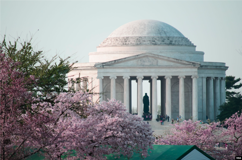 The Jefferson Memorial can be seen through cherry blossoms in full bloom along the Tidal Basin in Washington, DC. (Elizabeth Pfotzer/VOA)