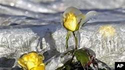 Two yellow roses covered in ice protrude from a frost cloth cover at Dewars Nurseries in Apopka, Fla., where the temperatures have been below freezing, Dec 14, 2010