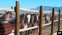 In this June 5, 2013 photograph, horses stand behind a fence at the Bureau of Land Management's Palomino Valley holding facility in Palomino Valley, Nev.