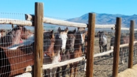 Wild horses are rounded up.