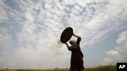 A farmer separates grains from weeds of barley in Lalitpur, near Kathmandu, April 26, 2011.