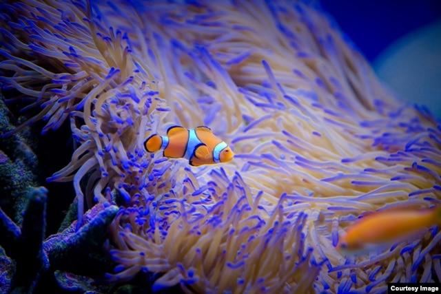 Kompleks akuarium riset marina(SeaSim) di Australian Institute of Marine Science, Townsville, 19 Maret 2015, (Courtesy Image, DFAT / Patrick Hamilton).