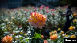 Roses bloom in the United Nations Rose Garden on a warm autumn day at U.N. headquarters in New York, October 8, 2014. (Photo / Reuters)