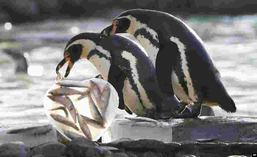 영국 런던 동물원에서 발렌타이데이를 앞두고, 펭귄에게 하트 모양으로 얼린 먹이를 줬다. 펭귄은 요즘 번식기를 맞았다.