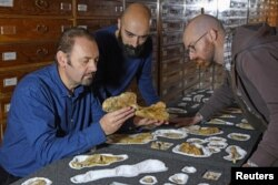 Paleontologist Cristiano Dal Sasso (L) and co-authors Simone Maganuco and Andrea Cau (R) examine the bones of the Jurassic dinosaur Saltriovenator, at the Natural History Museum of Milan.