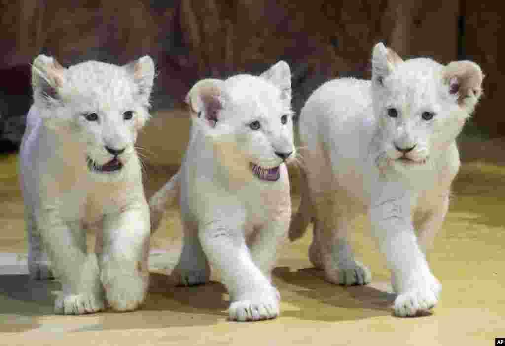 نمایش سه توله شیر سفید در باغ وحشی در آلمان. این نموه شیرها نادر هستند و دو ماه پیش به دنیا آمدند.