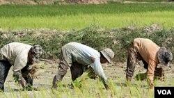 Sawah dan rawa-rawa adalah dua sumber utama gas methan, yang dihasilkan mikroba tanah dan dilepaskan ke atmosfir.