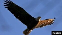 Elang Gundul atau American Bald Eagle, satwa unik di Amerika Utara, terbang di atas Sungai Hudson, New York, 23 Maret 2015.