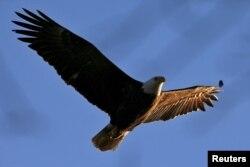 지난 2015년 미국대머리독수리가 뉴욕 허드슨 강 상공을 날고 있다. (자료사진)