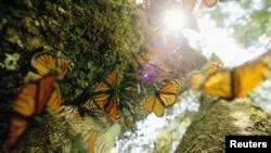 Cientos de mariposas monarca se alinean en un árbol en el Cerro del Campanario, en el santuario de Rosario en México.
