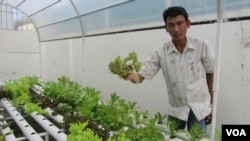 Mann Sophal grows cabbage, lettuce and tomato, all without soil.