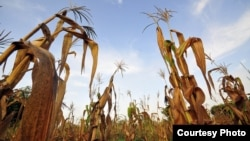 Failed maize crops in an area of Ghana which has suffered failed rains and rising temperatures. Sorghum, millet and cassava could become better options in large parts of Africa. (Neil Palmer/CIAT)