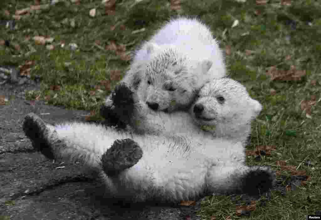 Twin polar bear cubs play outside in their enclosure at Tierpark Hellabrunn in Munich, Germany.