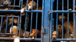 300 con chó được giải cứu khỏi bị giết thịt ở Việt Nam.