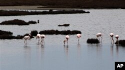 FILE - Flamingos gather in the wetlands, in the delta of the Axios, 20 miles west of the Greek city of Thessaloniki, Feb. 2, 2014.
