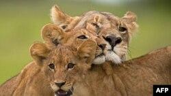 """Scena iz dokumentarca """"Poslednji lavovi"""""""