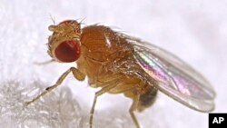 The common fruit fly, Drosophila melanogaster, is one of the most commonly used research animals.