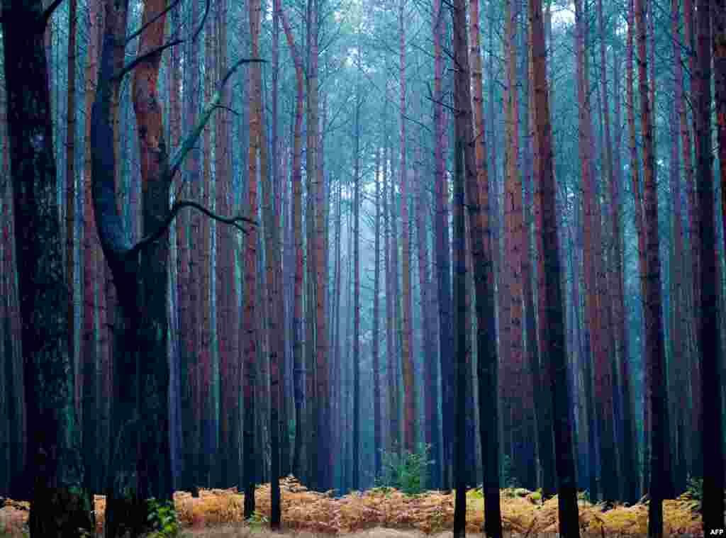 Sinar fajar menghiasi sebuah hutan cemara pada satu pagi musim gugur dekat Fuerstenwalde, bagian timur Jerman.