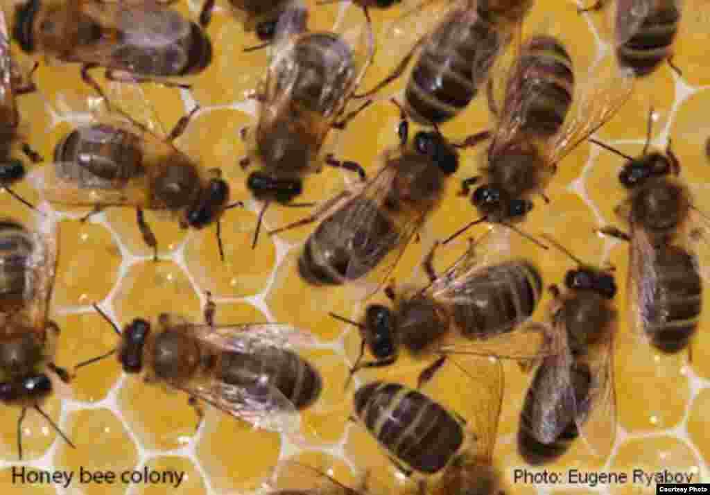 Lebah madu, yang memproduksi madu dan menyerbuki tanaman, terancam parasit dan patogen jamur dan virus, serta perluasan lahan. (Foto: Eugene Ryabov)