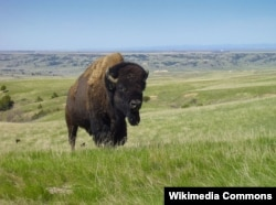 A bison in Badlands National Park, South Dakota