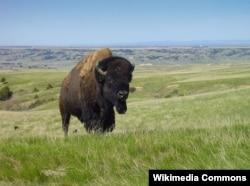 A bison in Badlands National Park, South Dakota