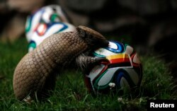 This armadillo is called Norman. He has been known to predict World Cup winners.