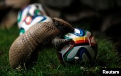 Almanya'nın Münster kentindeki hayvanat bahçesinin sevimli maskotu olan Norman adındaki armadillo, bugün Salvador'da Portekiz'le oynanacak maçın favorisi olarak Almanya'yı seçiyor. 2010 Dünya Kupası'nda kazanan takımları doğru seçen Paul adlı bir ahtapot, gönüllere taht kurmuştu