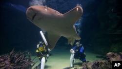 Bruce, un requin léopard, nage entre les plongeurs de l'aquarium de Sydney, Alicia Lloyd, à gauche, et Amanda Elzer alors qu'ils jouent à un jeu de cricket entouré de requins et d'autres poissons exotiques à Sydney, le mardi 3 janvier 2015. (Photo AP / Rick Rycroft)