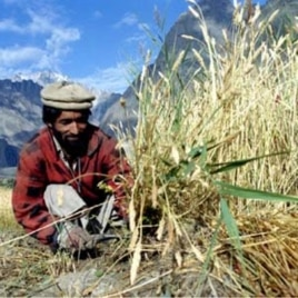 A farmer reaps wheat in Pakistan, where prices for the crop have jumped 16 percent since June 2010.