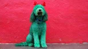 A dog, with his fur dyed green and wearing antlers made out of red fabric, poses for a photograph before participating in the Thanksgiving Day Parade in El Paso, Texas, United States, Nov. 26, 2015.