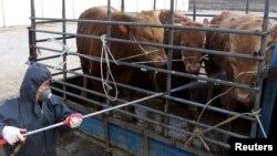 지난 2001년 한국 오산에서 소들에게 구제역 방역을 위한 소독약을 뿌리고 있다.